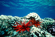 UNDERWATER MARINE LIFE HAWAII SEA URCHINS: Slate pencil urchin Echinoidea