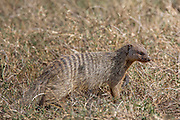 Banded mongoose in African habitat