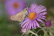 Butterfly, Skipper On An  Alpine Aster Flower