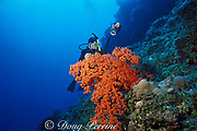 Mike Ball photographs soft coral, Dendronephthya sp., Flinders Reef, Coral Sea, Australia MR 207