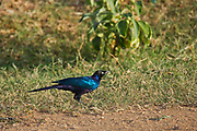 Ruppell's Glossy-starling (Lamprotornis purpuroptera). Rüppell's starling (Lamprotornis purpuroptera), also known as Rueppell's glossy-starling or Rueppell's long-tailed starling, is a species of starling in the family Sturnidae. It is found in Burundi, the Democratic Republic of the Congo, Eritrea, Ethiopia, Kenya, Rwanda, Somalia, South Sudan, Sudan, Tanzania, and Uganda. Photographed in Ethiopia