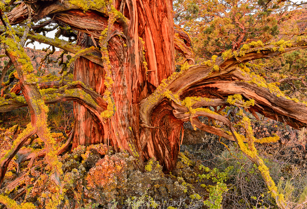 Ancient Knarly Western Juniper with first glow of dawn light, Lava Beds National Monument, California