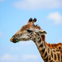 Head shot of giraffe in Arusha National Park Tanzania.