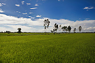 Green ricefield landscape in Tay Ninh province, Vietnam, Asia