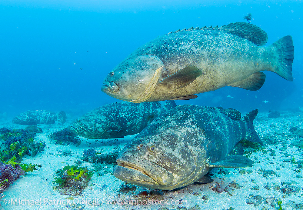 Goliath Groupers, Epinephelus itajara,  gather near the Zion Shipwreck offshore Jupiter, Florida prior to reproducing in late summer.