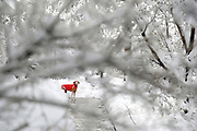 SHOT 3/23/16 5:44:34 PM - Tanner, an 11 year-old male Vizsla, pauses on a walk around the neighborhood after a late season snow storm in Denver, Co.  (Photo by Marc Piscotty / © 2016)