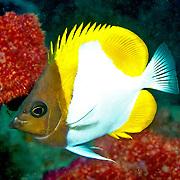Pyramid Butterflyfish inhabit reefs. Picture taken Raja Ampat, Indonesia.