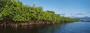 Red Mangrove<br />