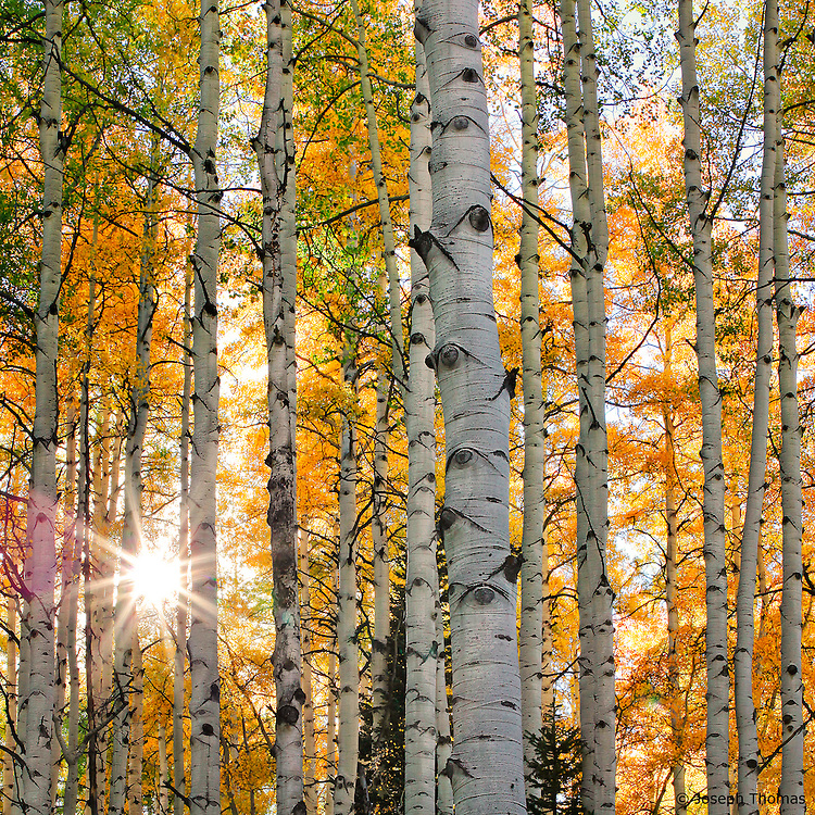 An interwoven tangle of aspen branches creates a complex sunburst pattern. Shooting with a small lens aperture directly into the sun as it peeks from behind an object produces the starburst effect. Aspen boles in the foreground provide graphic interest, while backlighting pumps up the orange, yellow, and green colors of the background foliage.