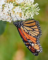 Monarch feeding on a Butterfly Bush. Image taken with a Nikon 1 V3 camera and 70-300 mm VR lens.