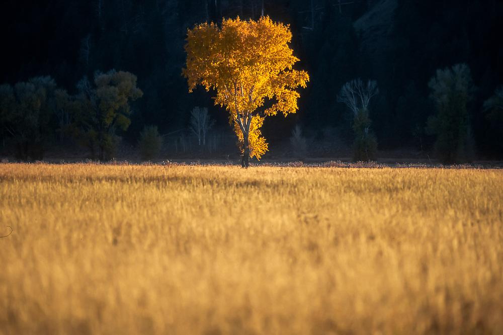 Cottonwood tree (Populus trichocarpa), afternoon light, October, Grand Teton National Park, Wyoming, USA