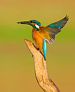 Common Kingfisher (Alcedo atthis), AKA Eurasian Kingfisher or River Kingfisher. This colourful bird is found throughout Eurasia and northern Africa. It eats fish, aquatic insects and crustaceans. Photographed in Israel September