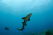 Nurse Shark (Ginglymostoma cirratum)<br /> Hol Chan Marine Reserve<br /> near Ambergris Caye and Caye Caulker<br /> Belize Barrier Reef, second largest barrier reef in the world<br /> Belize<br /> Central America