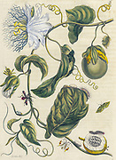 Passion fruit (passiflora) fruit, Plant and butterfly from Metamorphosis insectorum Surinamensium (Surinam insects) a hand coloured 18th century Book by Maria Sibylla Merian published in Amsterdam in 1719