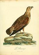Le Buserai Bird of Prey from the Book Histoire naturelle des oiseaux d'Afrique [Natural History of birds of Africa] by Le Vaillant, François, 1753-1824; Publish in Paris by Chez J.J. Fuchs, libraire .1799
