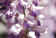 Soft spring colors, delicate pink and purple wisteria flowers cascade in a spring garden