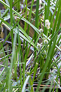 Narrow-leaved Bur Reed (Sparganium angustifolium) blooming in the pond at Godwin Farm Biodiversity Preserve in Surrey, British Columbia, Canada