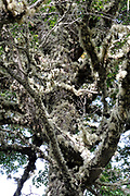 Lichen covered Southern Beech (Nothofagus species) tree. Punta Arenas, Chile. 15Feb13