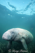 Antillean manatee or Caribbean manatee, Trichechus manatus manatus, a subspecies of the West Indian manatee or sea cow, in seagrass bed, Belize, Central America ( Caribbean )