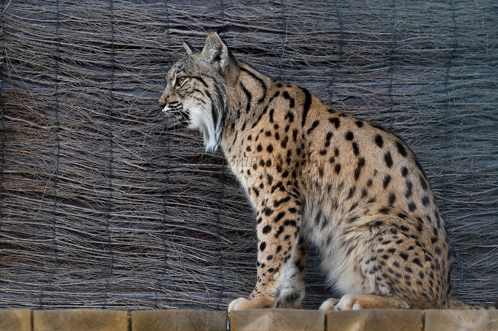 Iberian Lynx (Lynx pardinus)  Doñana coat which has a larger spot pattern than the Sierra Morena coat.<br /> El Acebuche Breeding Center, Matalascañas, Huelva. SPAIN<br /> RANGE: Iberian Penninsula of Spain & Portugal.<br /> CITES 1, CRITICAL - DANGER OF EXTINCTION<br /> Fewer than 200 animals in the wild. There is a reduced genetic variability due to their small population. They have suffered due to hunting, habitat loss, road accidents, reduced food supply due to desease in rabbits (Myxomatosis & RHD) - their base food supply. Deseases such as feline leukaemia<br /> A medium sized cat weighing 12-15kgs, Body length 90cm, Shoulder height 45-50cm. They have a mottled fur pattern, (3 varieties of fur pattern found between the different populations and distinguishing them geographically)  short tail, ear tufts and are bearded. They are territorial cats although female cubs have been found to share their mother's territory. Mating occurs in Dec/Jan and cubs born around April. They live up to 13 years.<br /> <br /> Mission: Iberian Lynx, May 2009<br /> © Pete Oxford / Wild Wonders of Europe<br /> Zaldumbide #506 y Toledo<br /> La Floresta, Quito. ECUADOR<br /> South America<br /> Tel: 593-2-2226958<br /> e-mail: pete@peteoxford.com<br /> www.peteoxford.com