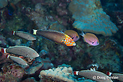psychedelic wrasse or red tail wrasse, Anampses chrysocephalus, Hawaiian endemic species, male, with harem of females, and agile chromis in background, Pawai Bay, near Kaiwi Point, Kona, Hawaii, USA ( Central Pacific Ocean )