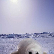 Harp Seal, (Pagophilus groenlandicus) Pup rests on ice pack. Late afternoon. Nova Scotia. Canada. Spring.