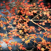 Early morning light highlighting orange-red momiji Japanese maple leaves in autumn, with a waterfall visible in the background. Photographed in Kifune, in the north of Kyoto.