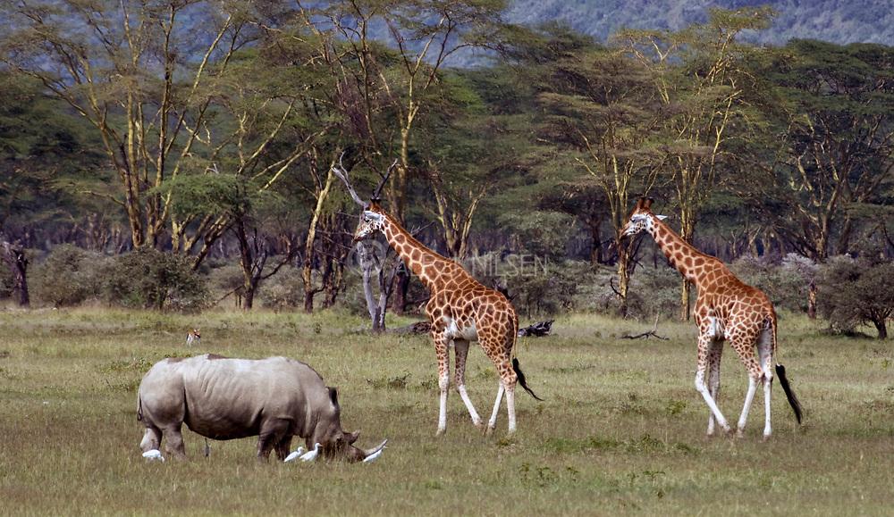 Rothchild's Giraffes and White Rhino grass among white Cattle Egrets in Lake Nakuru NP., Kenya.