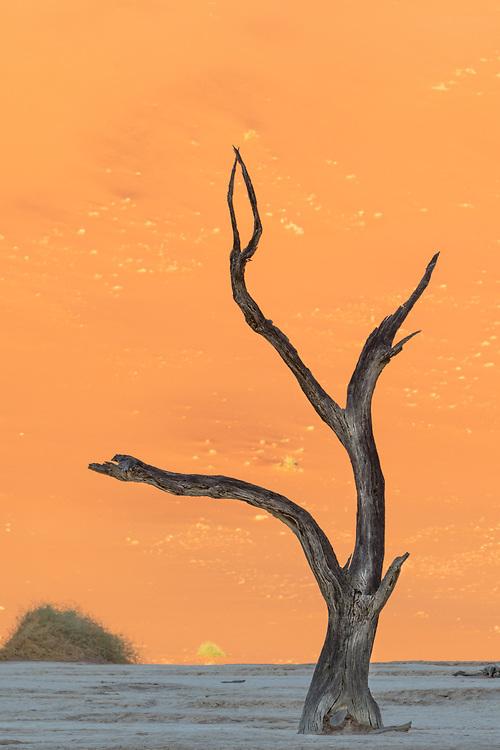 Camel Thorn tree in Sossusvlei, Namibia