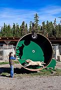 Alaskan Husky sled dog on training wheel at Jeff King's Husky Homestead Kennel, Denali, Alaska, USA