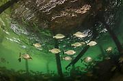 Chub (Kyphosus sectatrix)<br /> under dock<br /> San Pedro<br /> Ambergris Caye<br /> Belize<br /> Central America