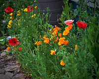 California and Red Poppies Image taken with a Nikon Df camera and 70-200 mm f/2.8 lens.