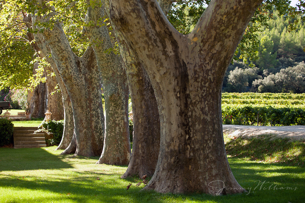 A line of old, tall trees on the grounds of Chateau Talaud in Loriol-du-Comtat, France