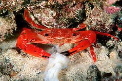 red swimming crab feeding, Charybdis paucidentata, Kona, Big Island, Hawaii, Pacific Ocean