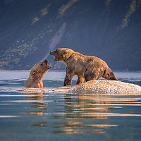 Two adult brown bears display aggression while trying to feed on the remains of a whale carcass in Kiniak Bay, Katmai National Park