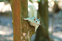 White fox squirrel photographed in Tallahassee, Florida. Its white fur is a leucistic trait - the hair is actually white, not colorless - so it's not an albino. Most (up to 80%) of the fox squirrels in this area have this trait, which is unusual compared to their typical dark gray to jet black coloring.
