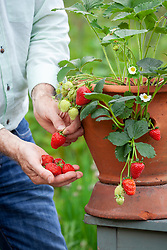 Harvesting container grown strawberries