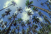 Coconut Palm Trees<br />