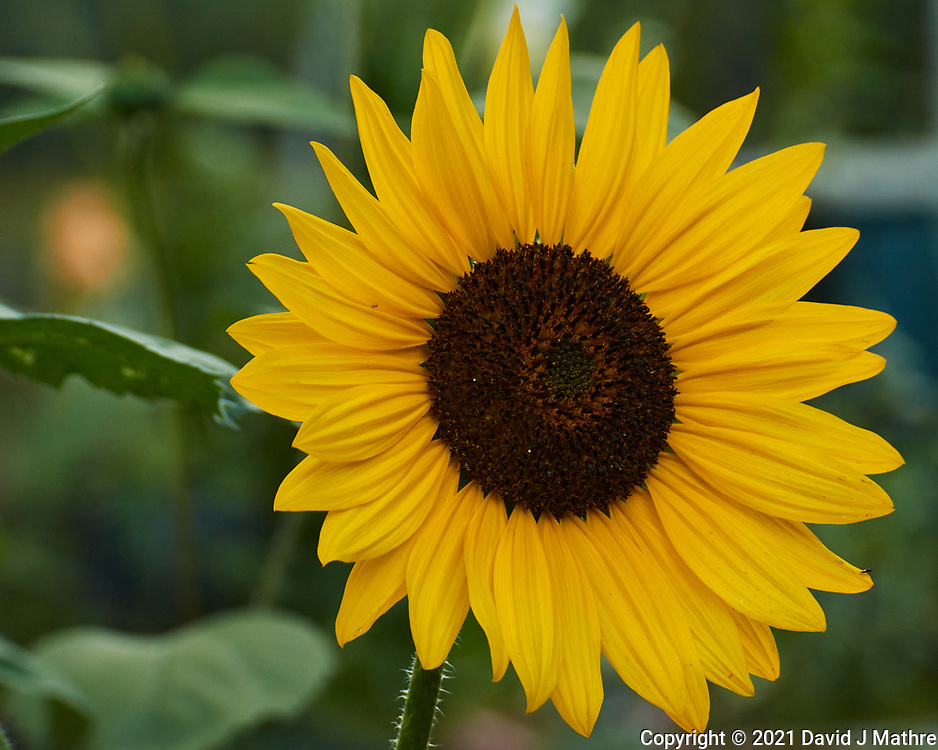 Sunflower. Image taken with a Nikon 1 V3 camera and 70-300 mm  VR lens.