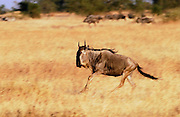 Migrating Blue Wildebeest running, Grumeti, Tanzania
