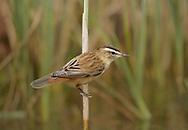 Sedge Warbler - Acrocephalus schoenbaenus