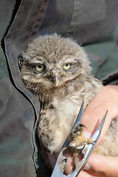 May 31, 2017 - ChièVres, Hainaut, Belgium - A volunteer for the Belgian non-profit Noctua bands with a tag a juvenile little owl as part of a conservation effort at Chièvres Air Base May 31, 2017 in Chièvres, Belgium. (Credit Image: © Pierre Courtejoie/Planet Pix via ZUMA Wire)
