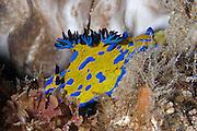 Nudibranch POLYCERIDAE (Tambja verconis) - Tasmania
