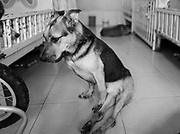 Simba, paralyzed and unable to use his hind legs, rests on the floor at the Milagros Perrunos shelter in Lima, Peru.