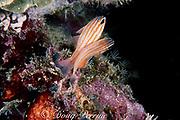orange-lined cardinalfish, Apogon cyanosoma, mating; female (left) extrudes orange eggs and male (right) fertilizes them, Mabul Island, Sabah, Borneo, Malaysia