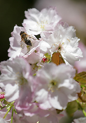 © Licensed to London News Pictures. 22/04/2015. Bristol, Avon, UK. A bee gathering nectar from Cherry Blossom at Westonbirt, The National Arboretum today, 22nd April 2015. The south west of England is set for more warm temperatures and plenty of sunshine today. Photo credit : Rob Arnold/LNP