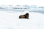 Antarctic fur seals (Arctocephalus gazella) on pack ice. The Antarctic fur seal feeds mainly on krill, but it also eats squid and fish. It is primarily a nocturnal hunter. An adult male can reach a length of up to two metres and a weight of over 200 kilograms. Around 95% of the Antarctic fur seal population breed on South Georgia Antarctica Photographed in February