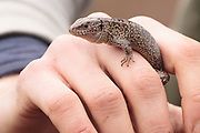 Male sand lizard (Lacerta agilis) handled under licence on survey with Amphibian and Reptile Conservation (ARC). Surrey, UK.