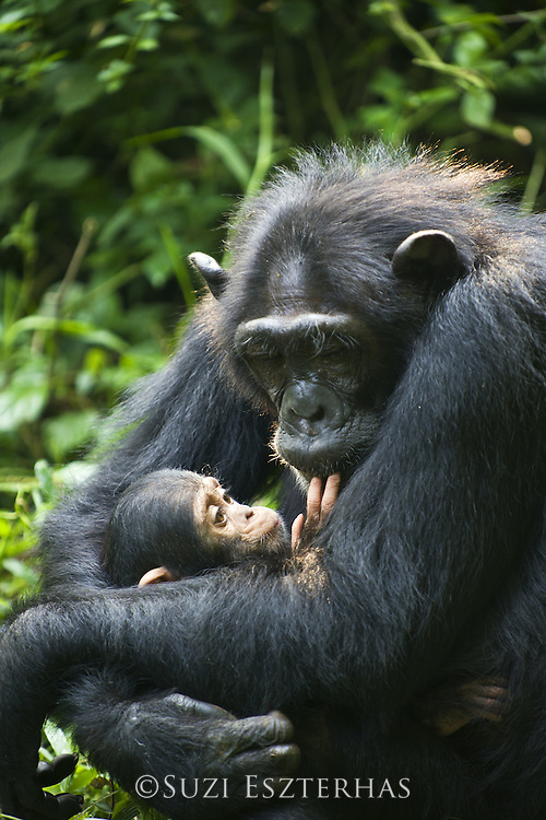 Chimpanzee<br /> Pan troglodytes<br /> Mother and 4 month old infant <br /> Tropical forest, Western Uganda