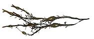 Egg Wrack - Ascophyllum nodosum